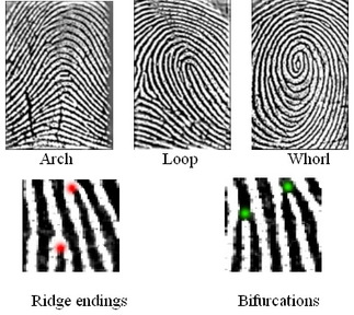 X - WALT DISNEY - One of his fingerprints shows an unusual characteristic! - Page 3 Fingerprint_types